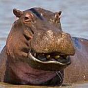 Grinning Hippo Poster