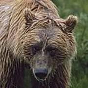 Grizzly Bear Ursus Arctos, Denali Poster