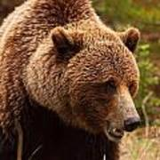 Grizzly Bear, Yukon Poster
