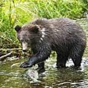 Grizzly Cub Catching Fish In Fish Creek Poster