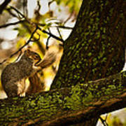 Grooming Grey Squirrel Poster