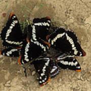 Group Of Butterflies Poster