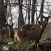 Group Of Deer Poster