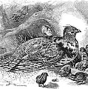 Grouse And Young Poster