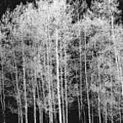 Grove Of Aspen Trees (populus Tremuloides), In Late Afternoon Poster