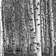 Grove Of Birch Trees Poster