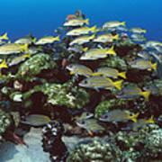 Grunt School Along Coral Reef Cocos Poster by Flip Nicklin