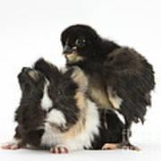 Guinea Pig And Black Bantam Chick Poster