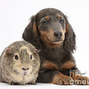 Guinea Pig And Blue-and-tan Dachshund Poster