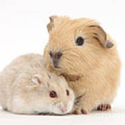 Guinea Pig And Hamster Poster