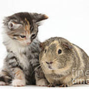 Guinea Pig And Maine Coon-cross Kitten Poster
