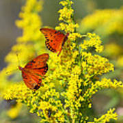Gulf Fritilaries On Golden Rod Poster