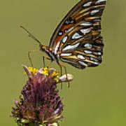 Gulf Fritillary Butterfly - Agraulis Vanillae Poster
