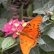 Gulf Fritillary Butterfly At Work Poster