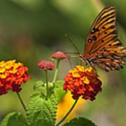 Gulf Fritillary Butterfly On Colorful Lantana  Poster
