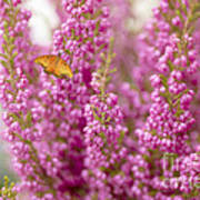 Gulf Fritillary Butterfly On Passionate Pink Flowers Poster