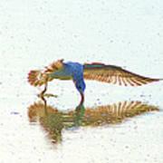 Gull Feeding On Lake Poster