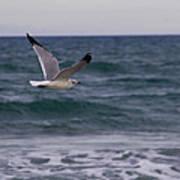 Gull In Flight Poster