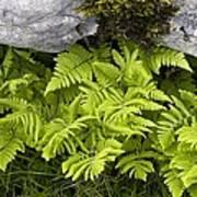 Gymnocarpium Robertianum Poster