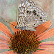 Hackberry Emplorer Butterfly Poster