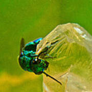 Halicid Wasp 1 Poster