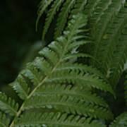 Hapuu Pulu Hawaiian Tree Fern - Cibotium Splendens Poster