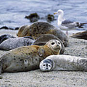 Harbor Seal And Pup Poster