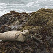 Harbor Seal  Point Lobos State Reserve Poster by Sebastian Kennerknecht