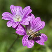 Hardy Geranium And Honey Bee Poster