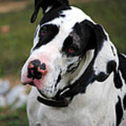 Harlequin Great Dane Poster
