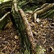 Hawaiian Cypress Poster