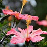Hawaiian Pink Hibiscus Poster