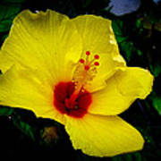 Hawaiian Yellow Hibiscus Poster