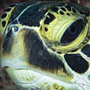 Hawksbill Sea Turtle Portrait Poster