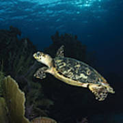 Hawksbill Sea Turtle Swimming Poster