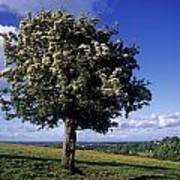 Hawthorn Tree On A Landscape, Ireland Poster