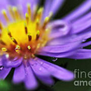 Hazy Daisy... With Droplets Poster