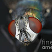 Head Of A Green Blow Fly Poster