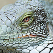Head Of A Green Iguana Poster