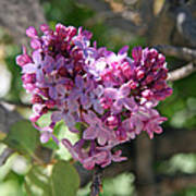 Heart Shaped Lilac Poster