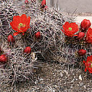Hedgehog Cactus With Red Blossoms Poster