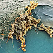 Helicobacter Pylori Bacteria, Sem Poster by