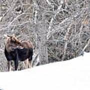 Hello Moose Poster