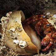 Hermit Crab Tucked Away Poster