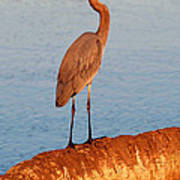 Heron On Palm Poster