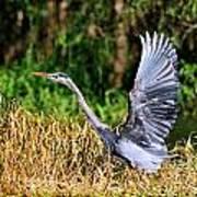 Heron Taking To Flight Poster