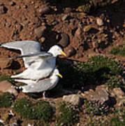 Herring Gulls Mating Poster