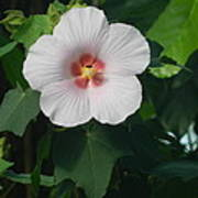 Hibiscus In Panama Poster