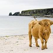 Highland Cow On A Beach Poster