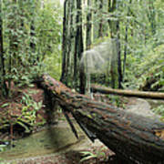 Hiker Moving Over A Fallen Redwood Tree Poster